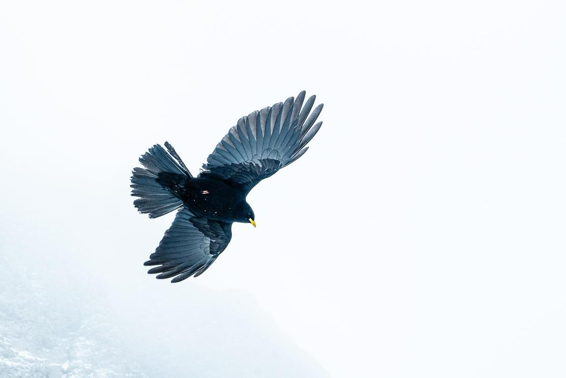 Ave negra volando entre la niebla